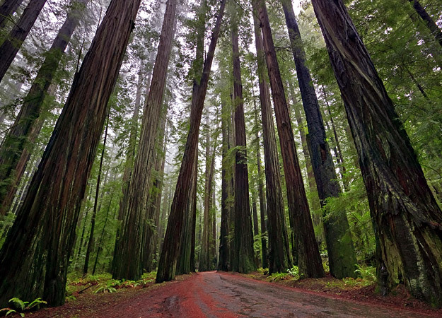 north-america-redwood-forest-625x450